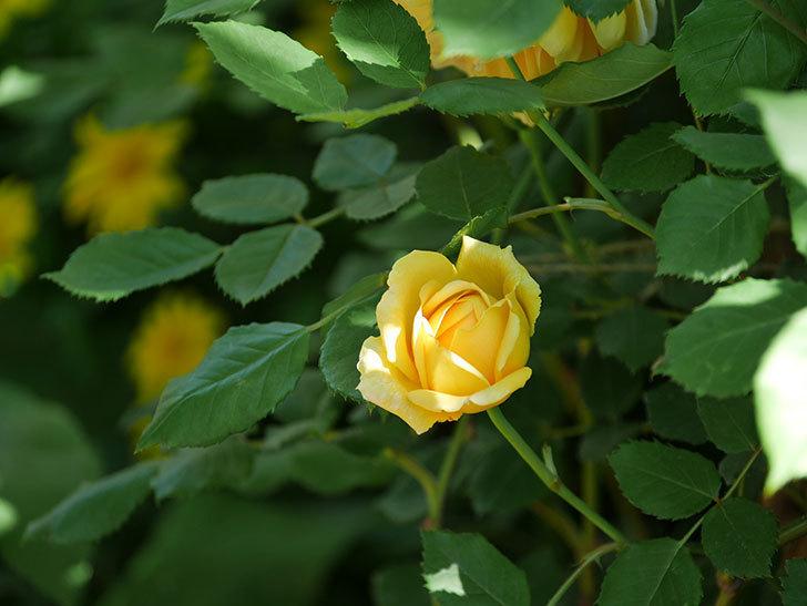 ゴールデン・セレブレーション(ツルバラ)の花が増えて来た。2019年-15.jpg