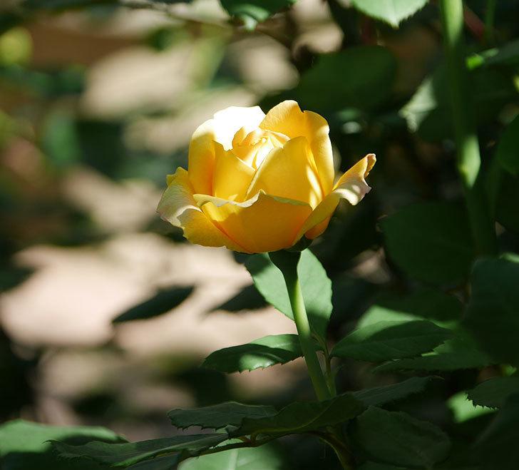 ゴールデン・セレブレーション(ツルバラ)の花が増えて来た。2019年-16.jpg