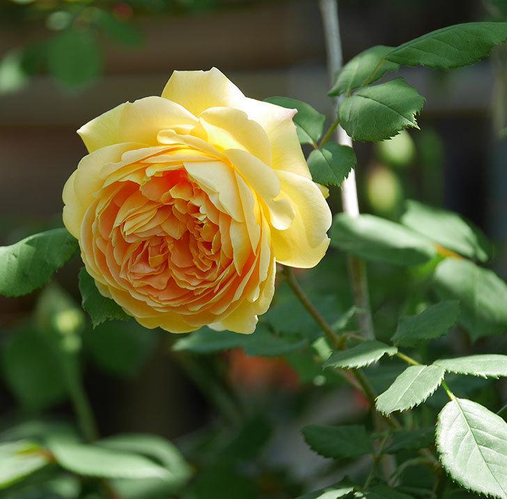 ゴールデン・セレブレーション(ツルバラ)の花が増えて来た。2019年-17.jpg