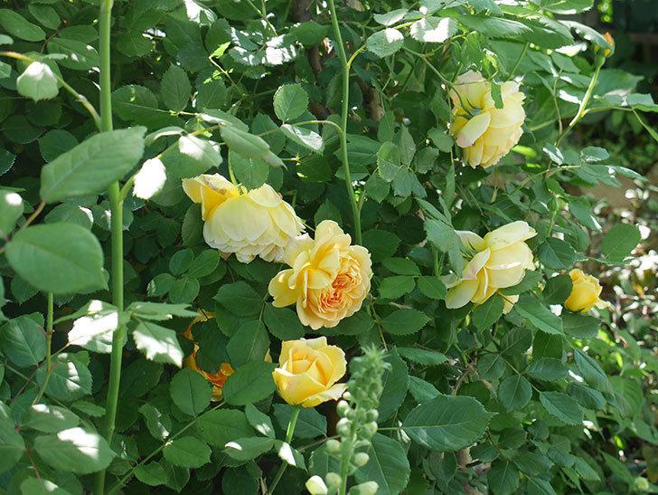 ゴールデン・セレブレーション(ツルバラ)の花が増えて来た。2019年-18.jpg