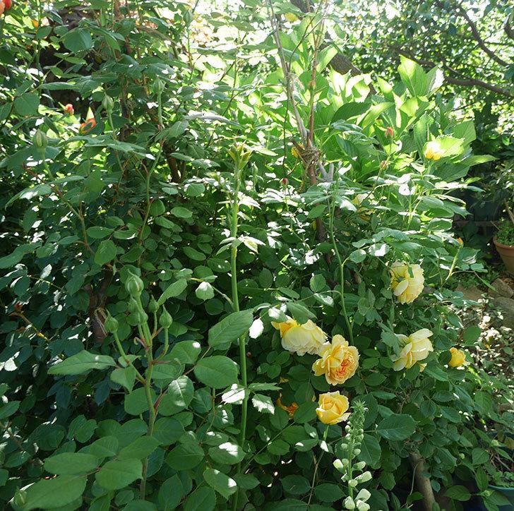 ゴールデン・セレブレーション(ツルバラ)の花が増えて来た。2019年-19.jpg