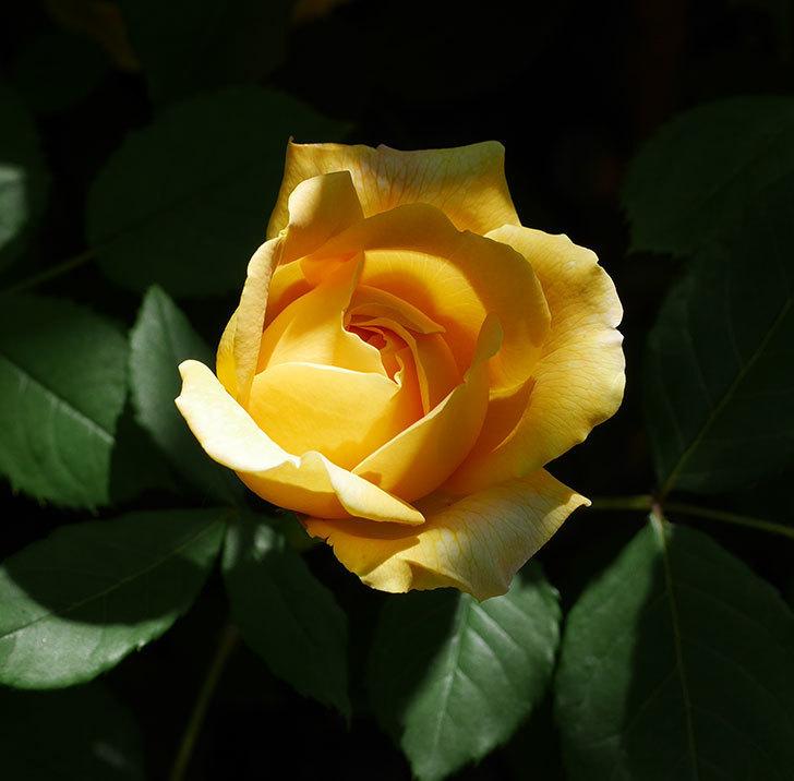 ゴールデン・セレブレーション(ツルバラ)の花が増えて来た。2019年-3.jpg
