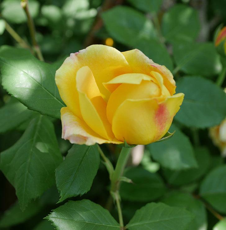 ゴールデン・セレブレーション(ツルバラ)の花が増えて来た。2019年-4.jpg
