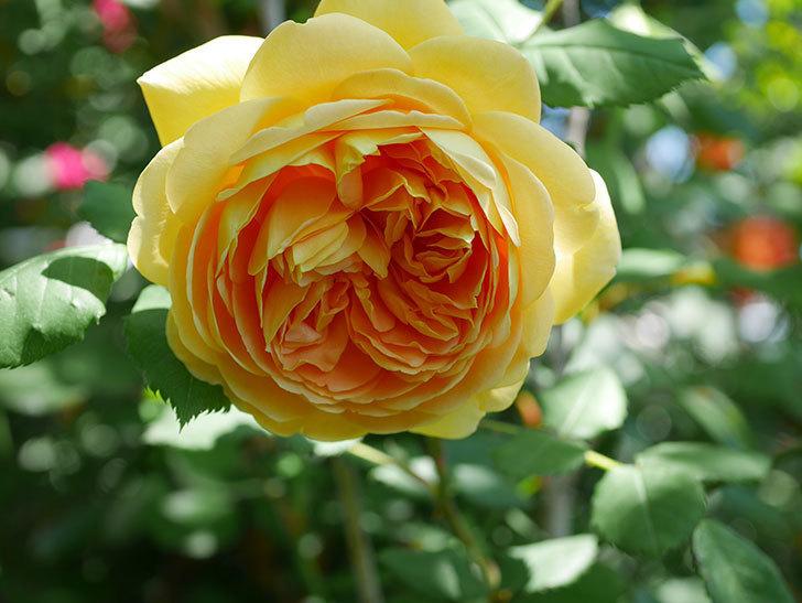 ゴールデン・セレブレーション(ツルバラ)の花が増えて来た。2019年-5.jpg