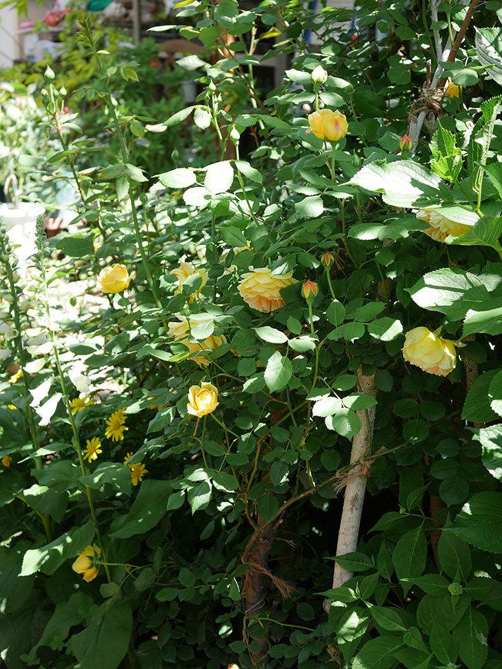 ゴールデン・セレブレーション(ツルバラ)の花が増えて来た。2019年-7.jpg