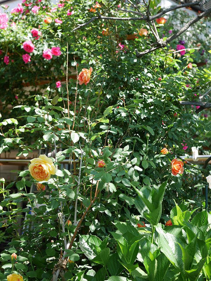 ゴールデン・セレブレーション(ツルバラ)の花が増えて来た。2019年-8.jpg