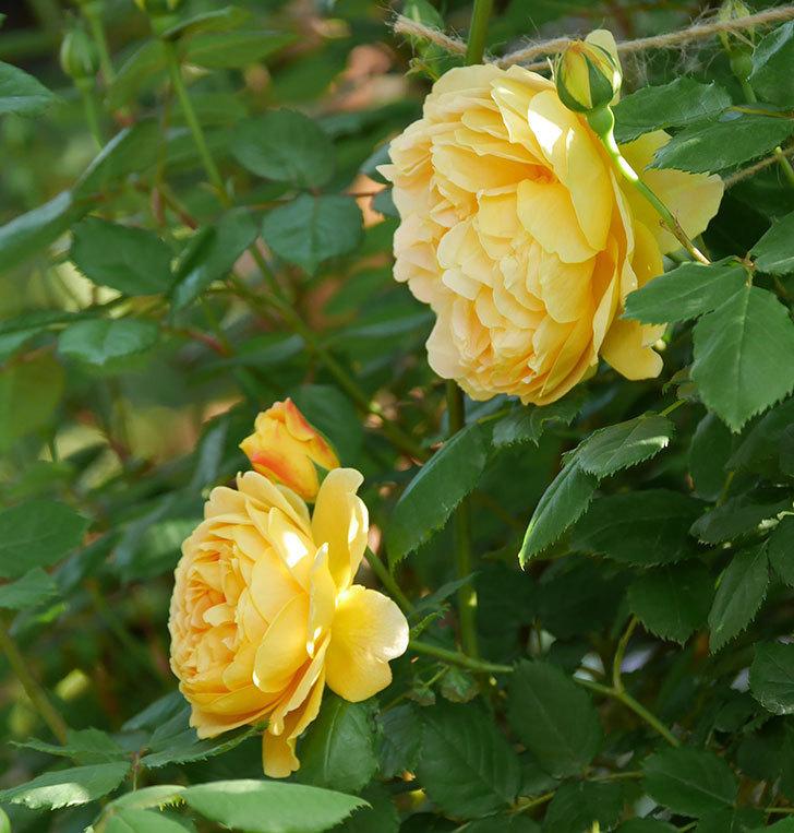 ゴールデン・セレブレーション(ツルバラ)の花が増えて来た。2020年-1.jpg