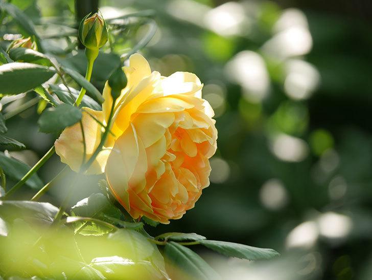 ゴールデン・セレブレーション(ツルバラ)の花が増えて来た。2020年-10.jpg