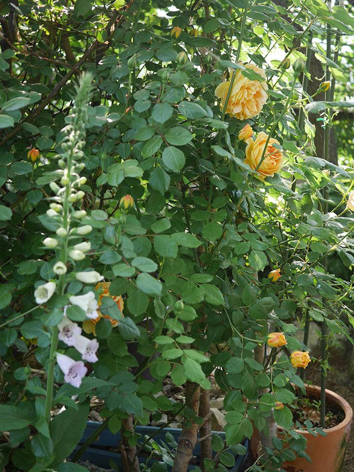 ゴールデン・セレブレーション(ツルバラ)の花が増えて来た。2020年-11.jpg