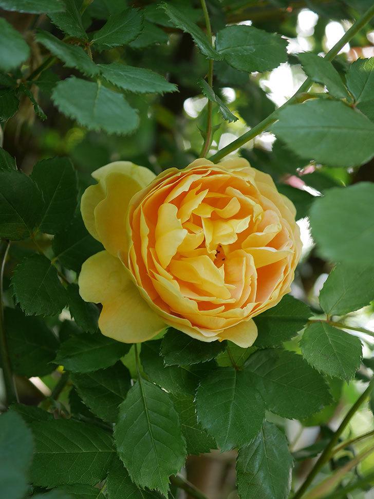ゴールデン・セレブレーション(ツルバラ)の花が増えて来た。2020年-12.jpg