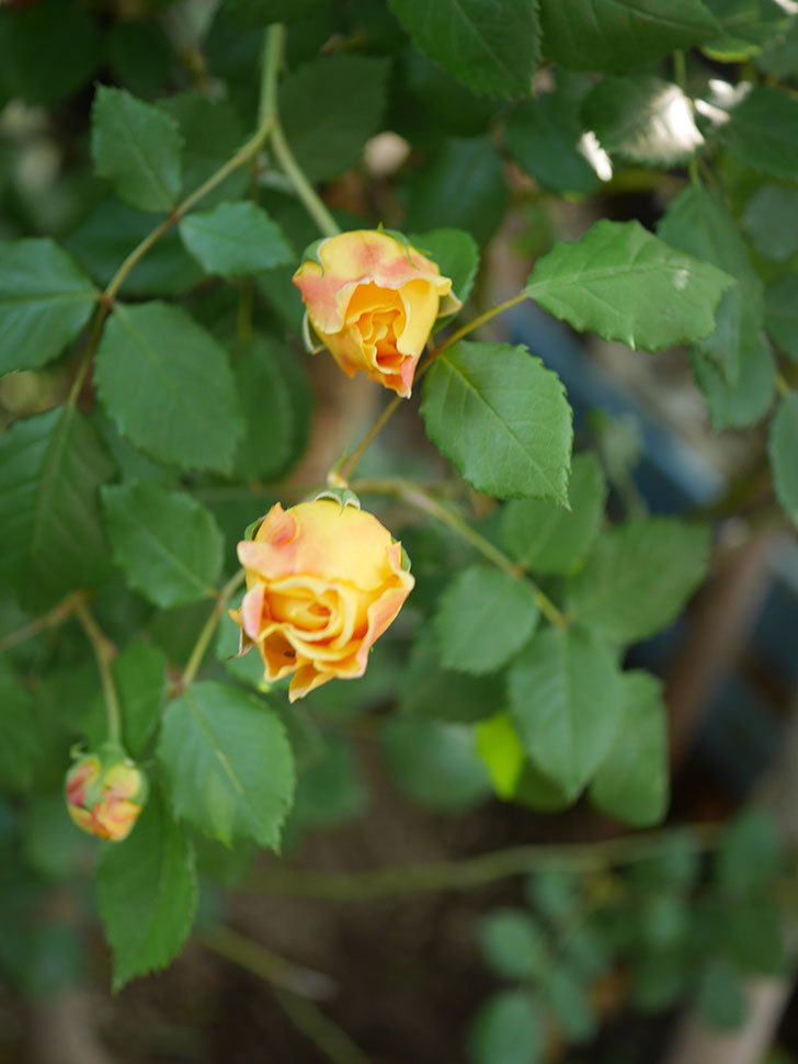 ゴールデン・セレブレーション(ツルバラ)の花が増えて来た。2020年-13.jpg