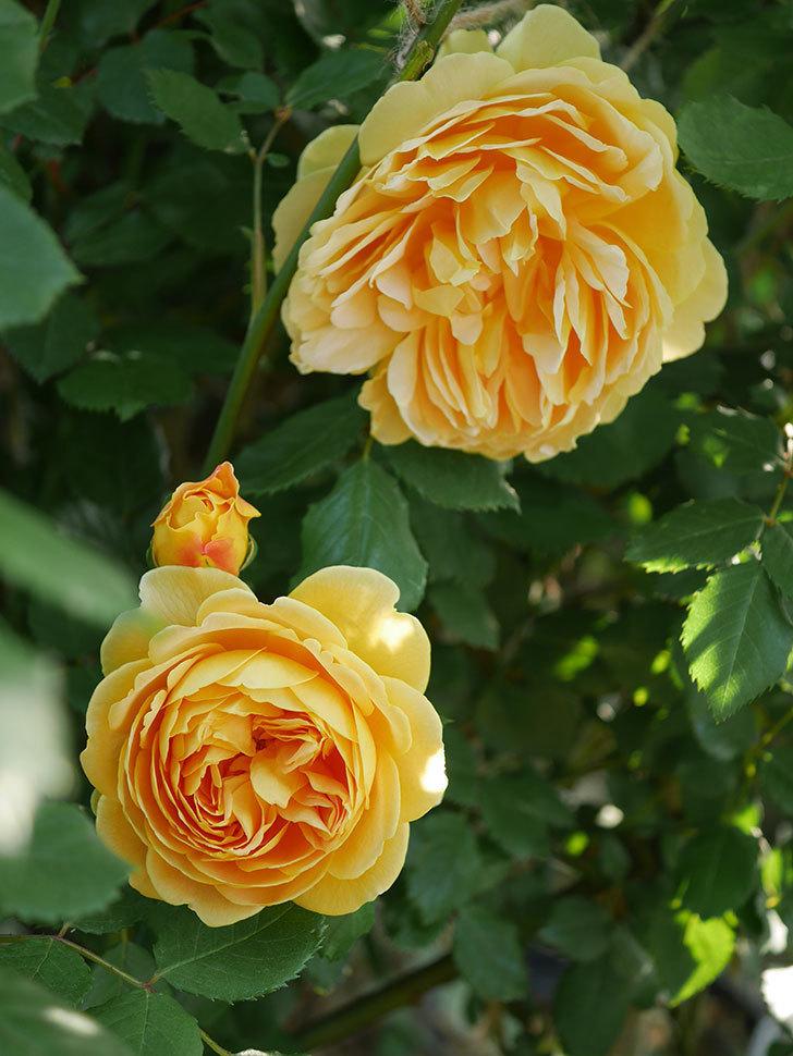 ゴールデン・セレブレーション(ツルバラ)の花が増えて来た。2020年-14.jpg