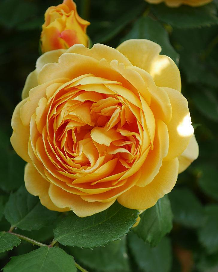 ゴールデン・セレブレーション(ツルバラ)の花が増えて来た。2020年-15.jpg