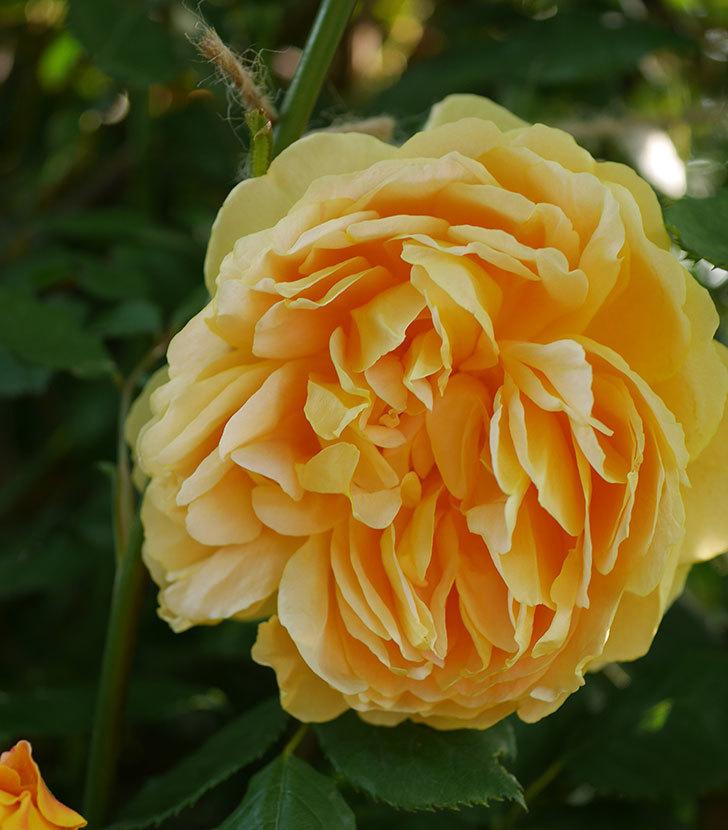 ゴールデン・セレブレーション(ツルバラ)の花が増えて来た。2020年-16.jpg