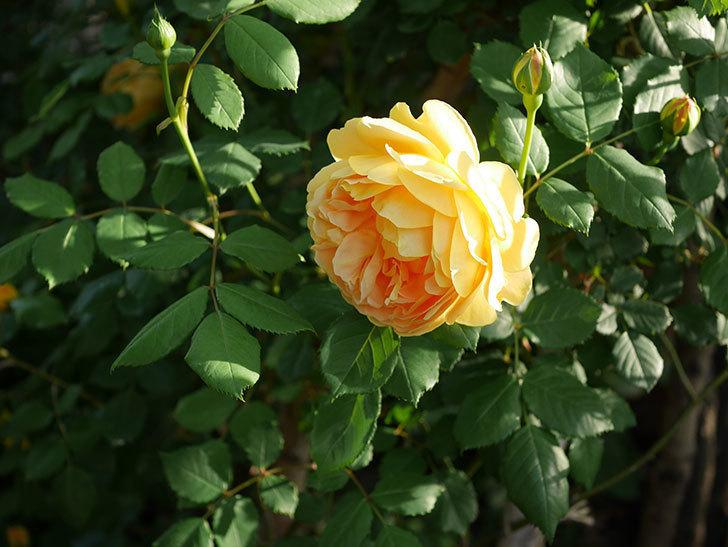 ゴールデン・セレブレーション(ツルバラ)の花が増えて来た。2020年-17.jpg