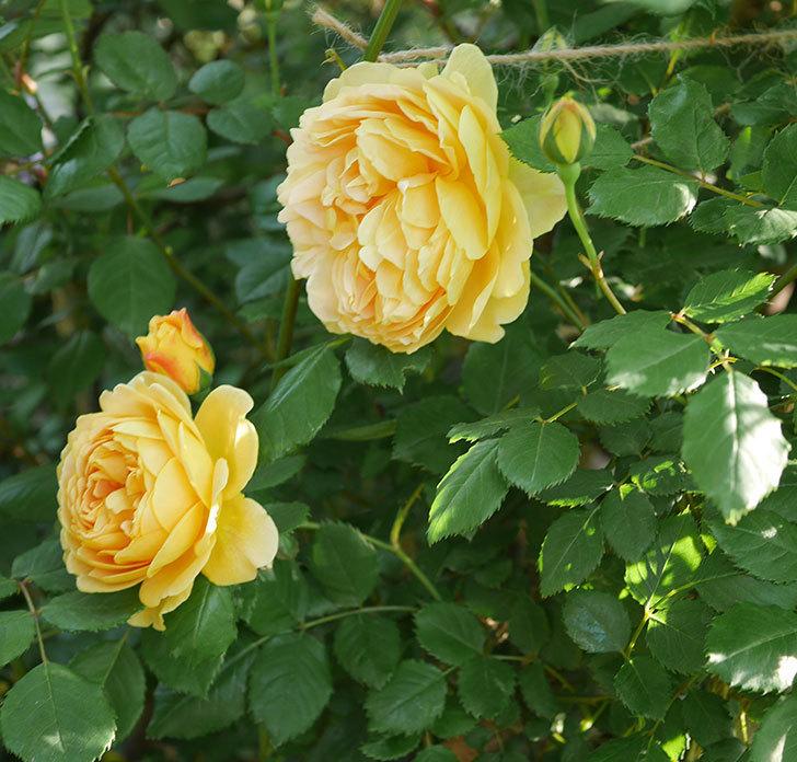 ゴールデン・セレブレーション(ツルバラ)の花が増えて来た。2020年-18.jpg