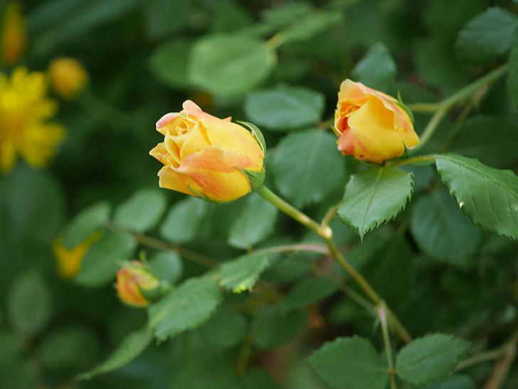 ゴールデン・セレブレーション(ツルバラ)の花が増えて来た。2020年-19.jpg