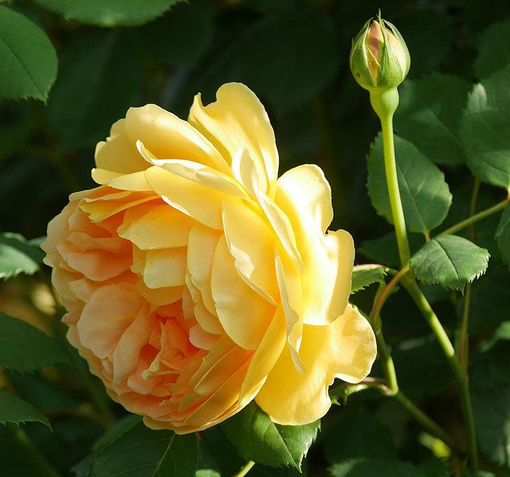 ゴールデン・セレブレーション(ツルバラ)の花が増えて来た。2020年-2.jpg