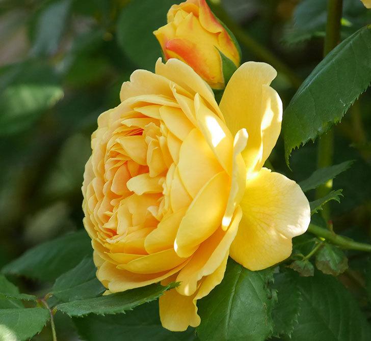 ゴールデン・セレブレーション(ツルバラ)の花が増えて来た。2020年-3.jpg