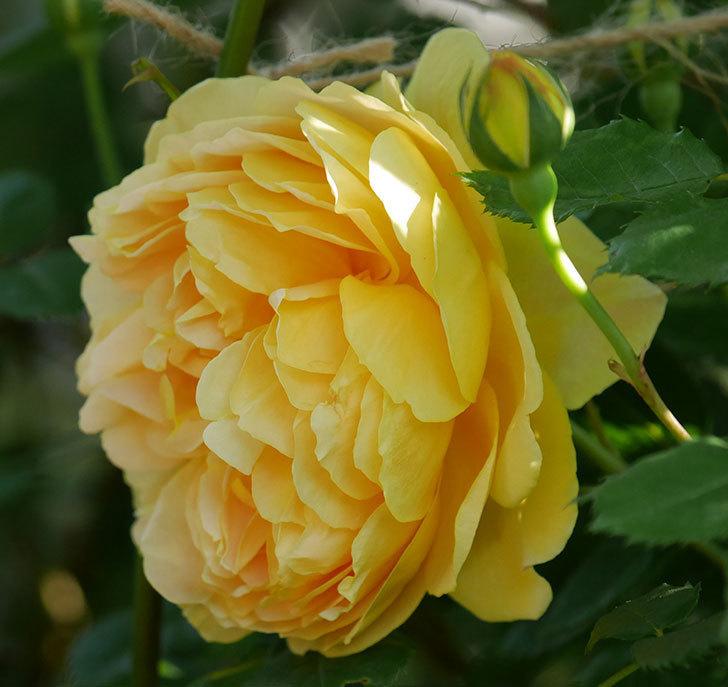 ゴールデン・セレブレーション(ツルバラ)の花が増えて来た。2020年-4.jpg