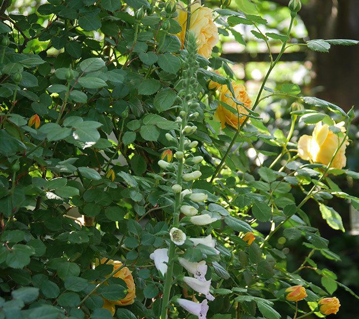 ゴールデン・セレブレーション(ツルバラ)の花が増えて来た。2020年-6.jpg
