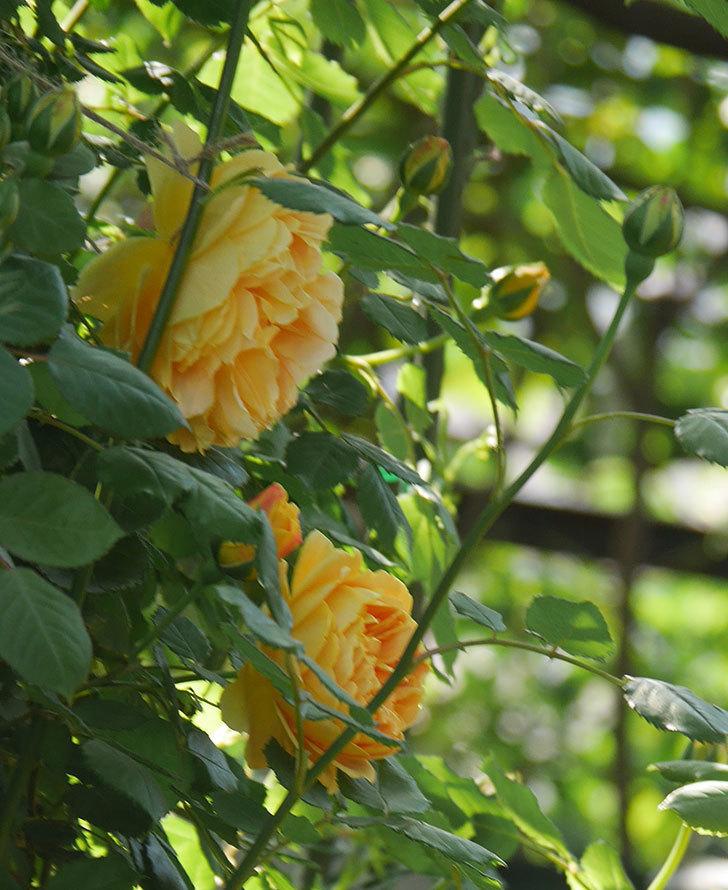 ゴールデン・セレブレーション(ツルバラ)の花が増えて来た。2020年-7.jpg