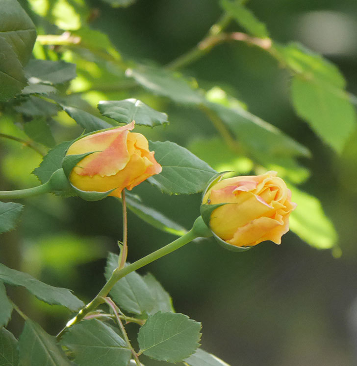 ゴールデン・セレブレーション(ツルバラ)の花が増えて来た。2020年-8.jpg