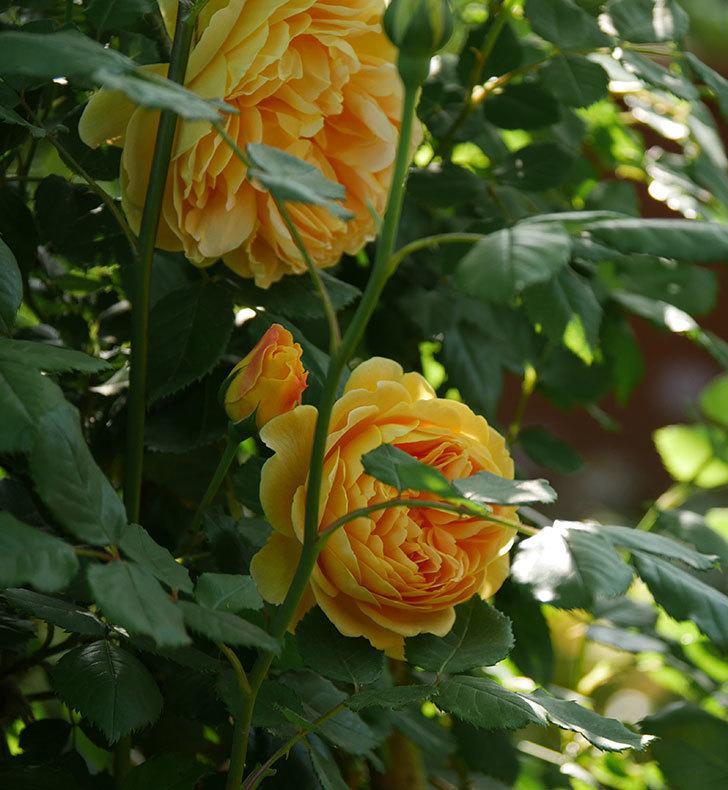 ゴールデン・セレブレーション(ツルバラ)の花が増えて来た。2020年-9.jpg
