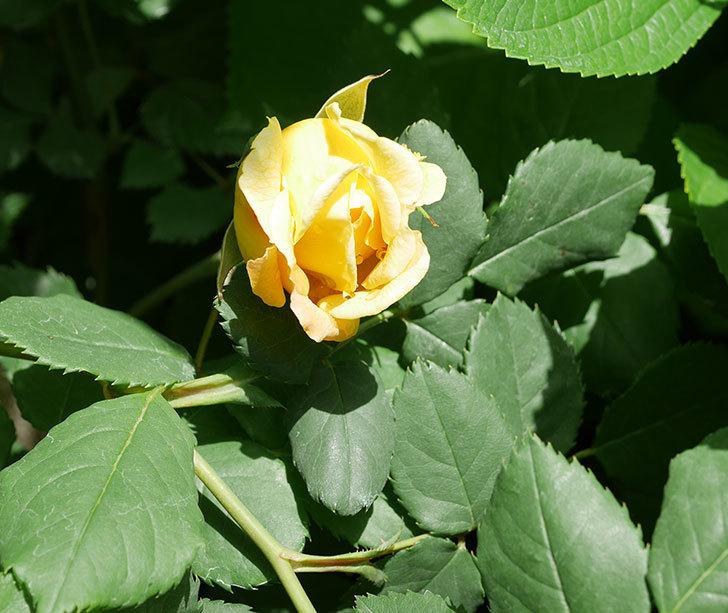 ゴールデン・セレブレーション(ツルバラ)の花が少し咲いた。2019年-1.jpg