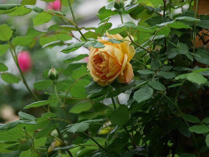 ゴールデン・セレブレーション(Golden Celebration)に2個目の花が咲いた。ツルバラ。2021年-002.jpg