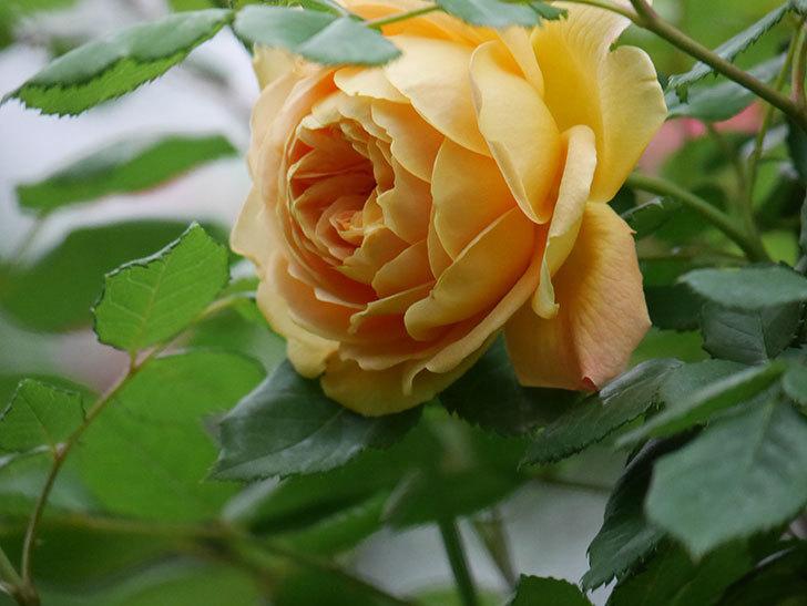 ゴールデン・セレブレーション(Golden Celebration)に2個目の花が咲いた。ツルバラ。2021年-003.jpg