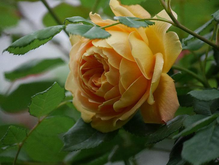 ゴールデン・セレブレーション(Golden Celebration)に2個目の花が咲いた。ツルバラ。2021年-004.jpg