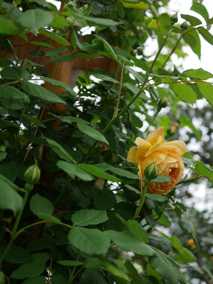 ゴールデン・セレブレーション(Golden Celebration)に2個目の花が咲いた。ツルバラ。2021年-005.jpg