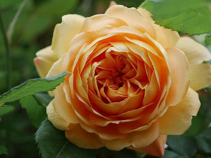 ゴールデン・セレブレーション(Golden Celebration)に2個目の花が咲いた。ツルバラ。2021年-007.jpg