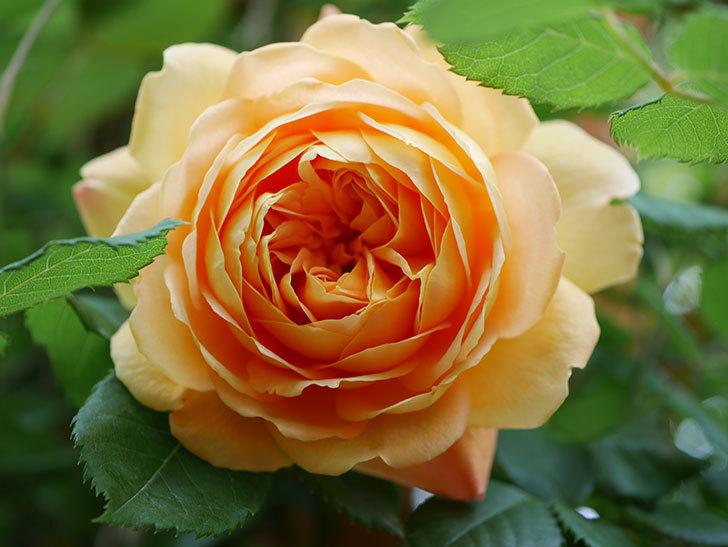 ゴールデン・セレブレーション(Golden Celebration)に2個目の花が咲いた。ツルバラ。2021年-008.jpg