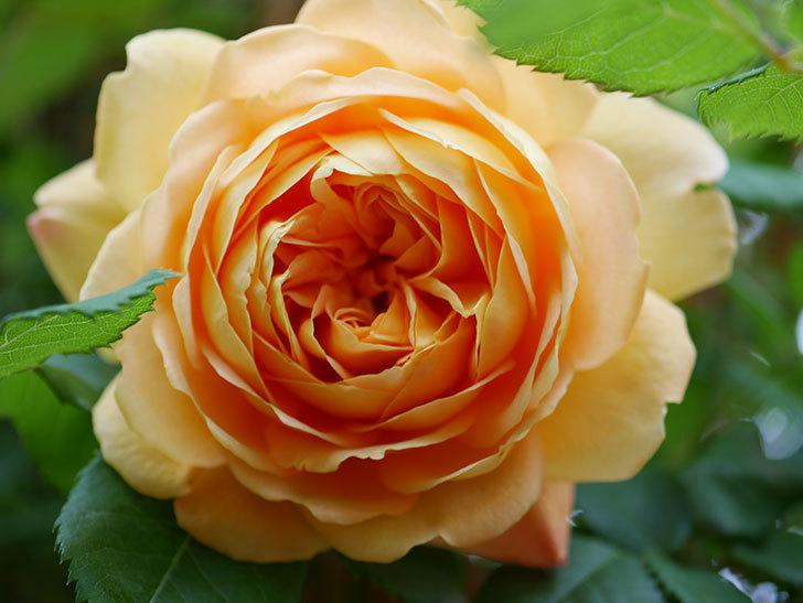ゴールデン・セレブレーション(Golden Celebration)に2個目の花が咲いた。ツルバラ。2021年-009.jpg