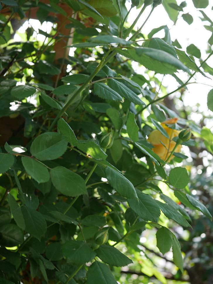ゴールデン・セレブレーション(Golden Celebration)に2個目の花が咲いた。ツルバラ。2021年-010.jpg