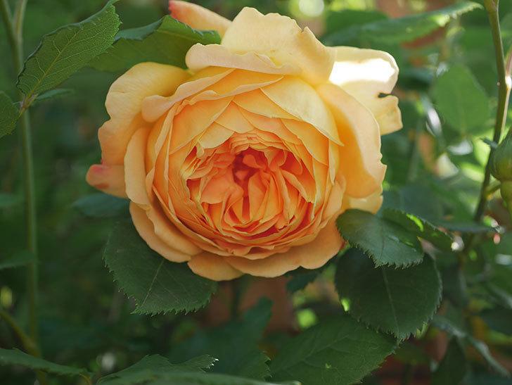 ゴールデン・セレブレーション(Golden Celebration)に2個目の花が咲いた。ツルバラ。2021年-011.jpg