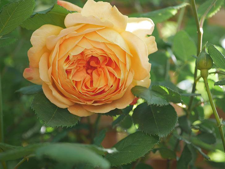 ゴールデン・セレブレーション(Golden Celebration)に2個目の花が咲いた。ツルバラ。2021年-012.jpg