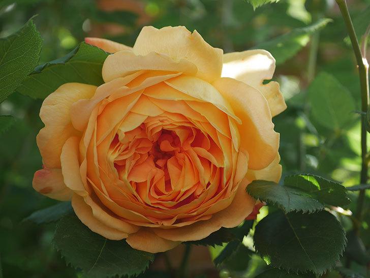 ゴールデン・セレブレーション(Golden Celebration)に2個目の花が咲いた。ツルバラ。2021年-013.jpg
