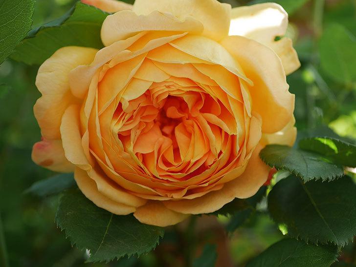 ゴールデン・セレブレーション(Golden Celebration)に2個目の花が咲いた。ツルバラ。2021年-014.jpg