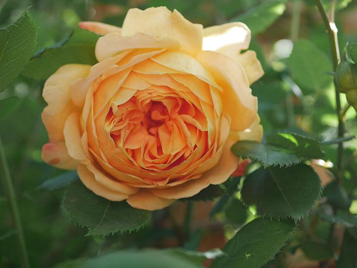 ゴールデン・セレブレーション(Golden Celebration)に2個目の花が咲いた。ツルバラ。2021年-015.jpg