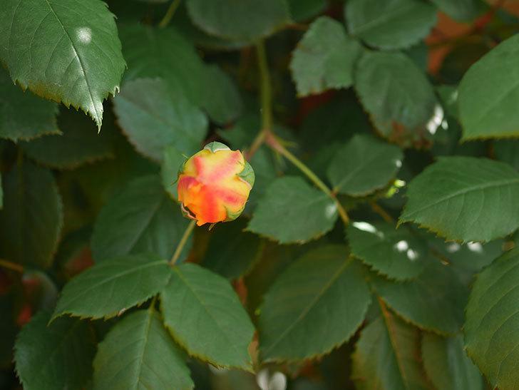 ゴールデン・セレブレーション(Golden Celebration)に2個目の花が咲いた。ツルバラ。2021年-016.jpg