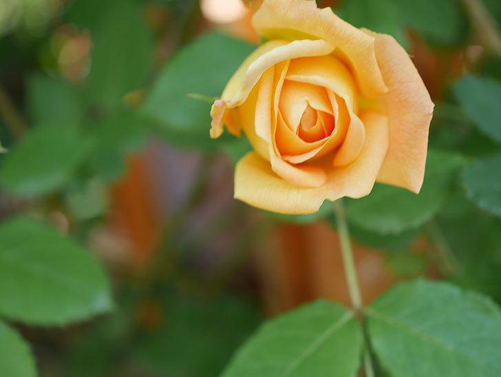 ゴールデン・セレブレーション(Golden Celebration)に2個目の花が咲いた。ツルバラ。2021年-017.jpg