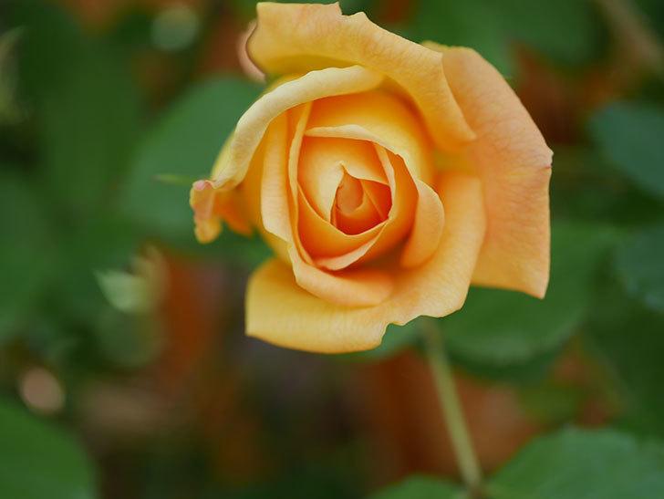ゴールデン・セレブレーション(Golden Celebration)に2個目の花が咲いた。ツルバラ。2021年-018.jpg