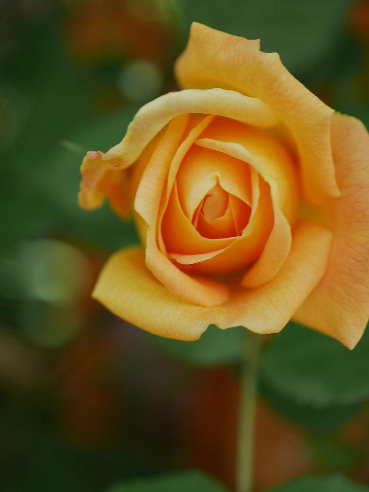 ゴールデン・セレブレーション(Golden Celebration)に2個目の花が咲いた。ツルバラ。2021年-019.jpg