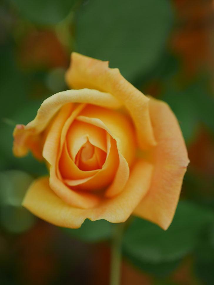 ゴールデン・セレブレーション(Golden Celebration)に2個目の花が咲いた。ツルバラ。2021年-020.jpg