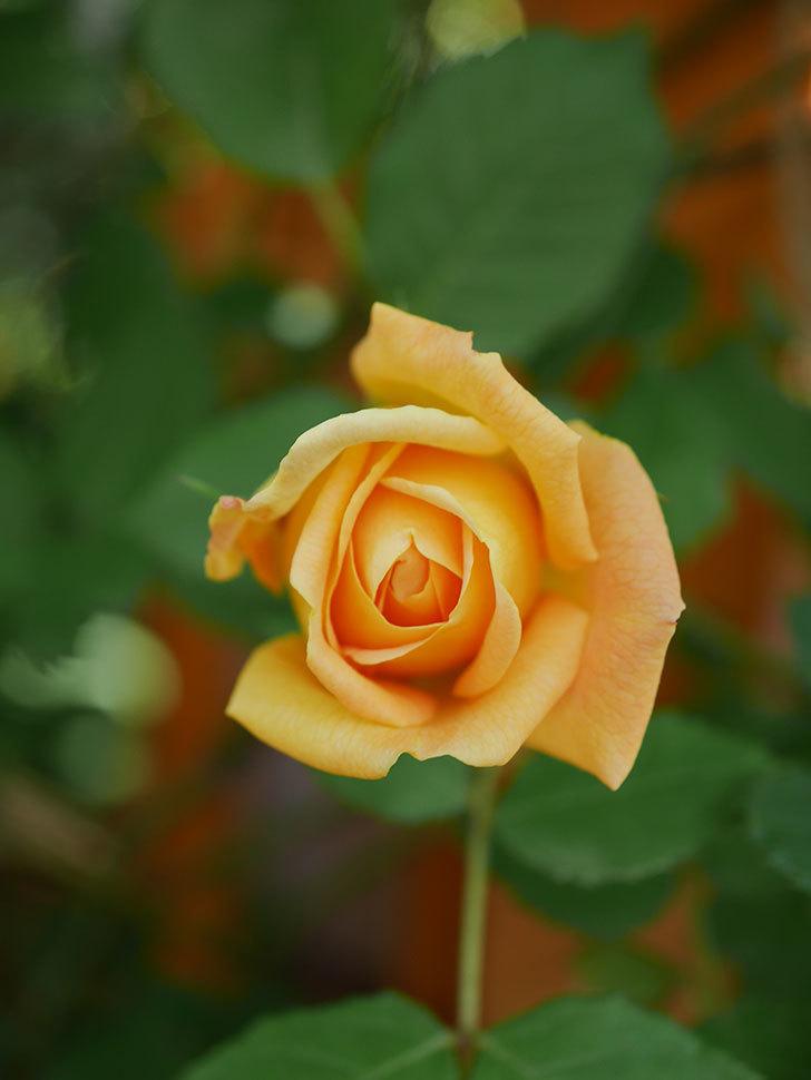 ゴールデン・セレブレーション(Golden Celebration)に2個目の花が咲いた。ツルバラ。2021年-021.jpg