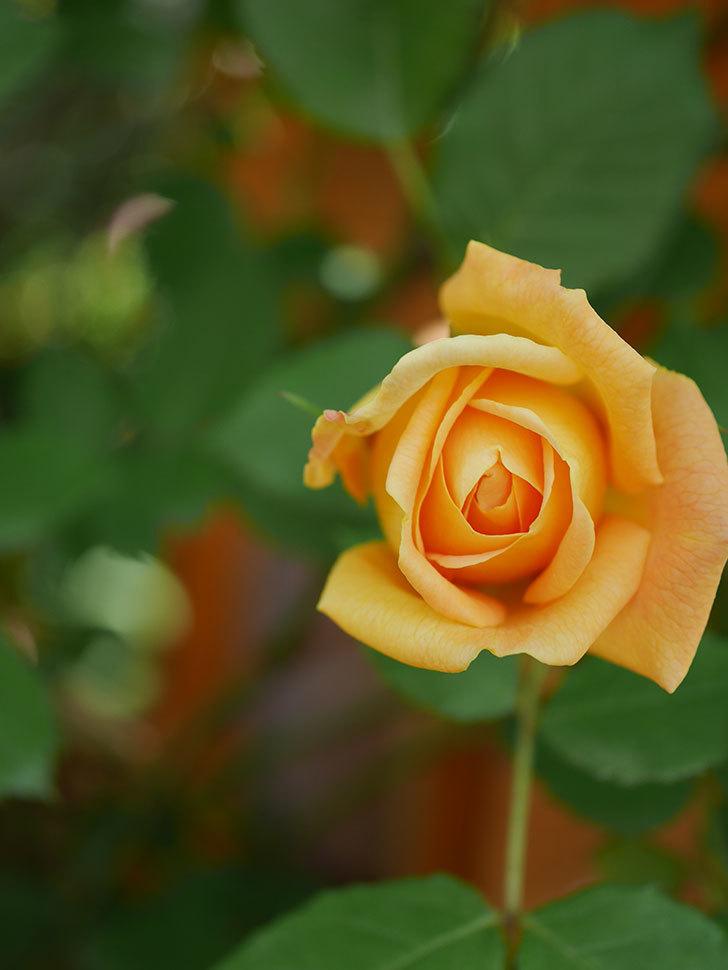 ゴールデン・セレブレーション(Golden Celebration)に2個目の花が咲いた。ツルバラ。2021年-022.jpg