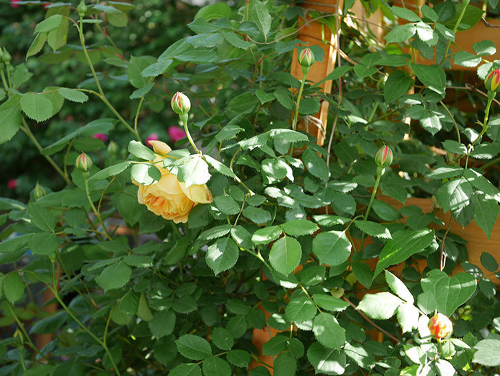 ゴールデン・セレブレーション(Golden Celebration)に2個目の花が咲いた。ツルバラ。2021年-025.jpg